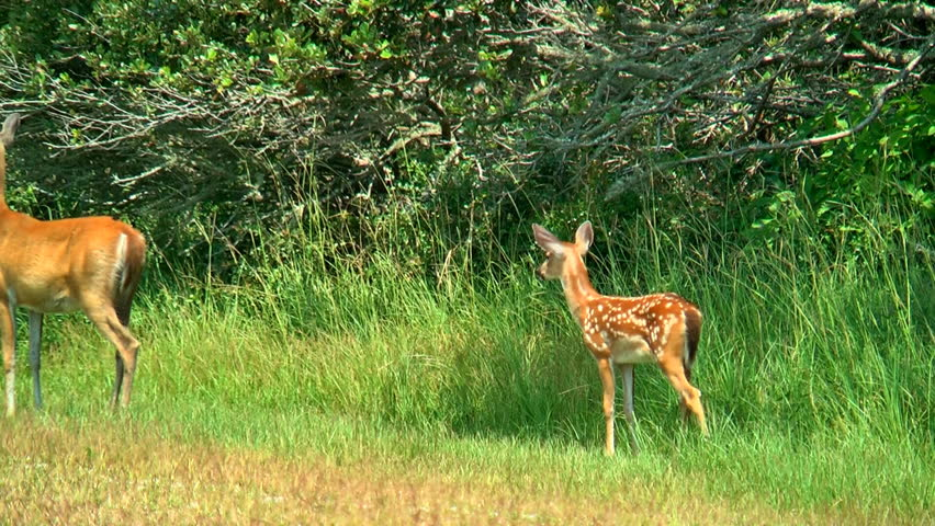 A mother and her spotted fawn run away from what they perceive as danger