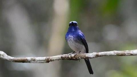 hainan blue flycatcher, beautiful blue bird with white belly perching on brach with lovely stances and move off the branch later