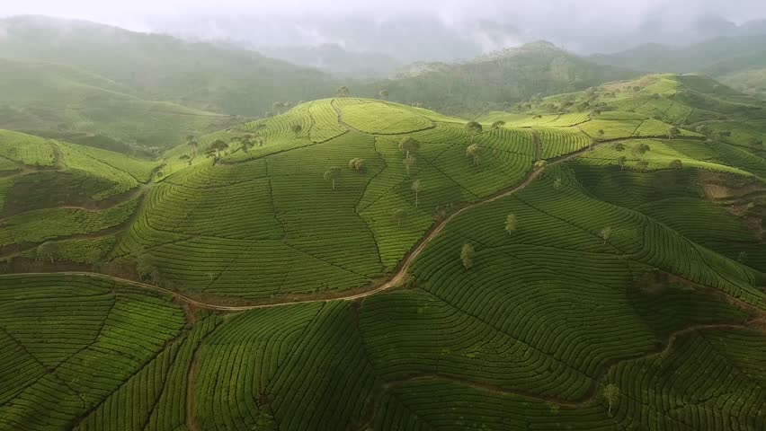 Beautiful aerial view footage of tea plantation in the morning from a drone flying to left at Bandung regency highland, West Java, Indonesia. Shot in 4k resolution