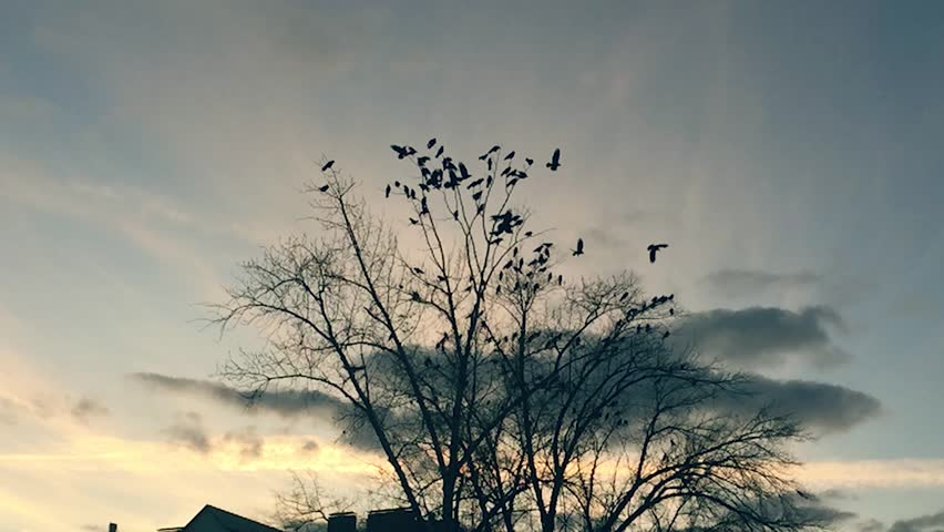 Flock of birds taking off from a tree, a flock of crows black bird dry tree. birds slow motion ravens in the sky | Shutterstock HD Video #32023543