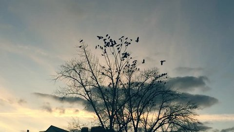 flock of birds taking off from a tree, a flock of crows black bird dry tree. birds slow motion ravens in the sky