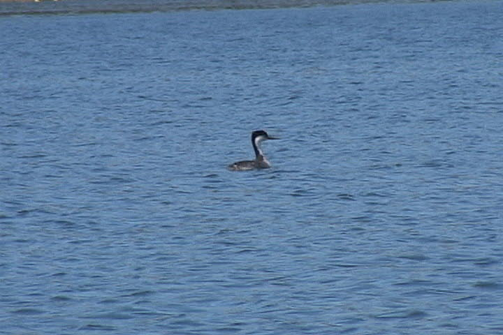 Lake Irvine - Black necked stilt or Heron