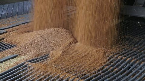Grain truck unloading. Unloading wheat grain from grain truck on mill. Truck unloads, grain on the granary. Big harvest. Wheat is unloaded from a truck at a flour mill. Wheat flour mill.