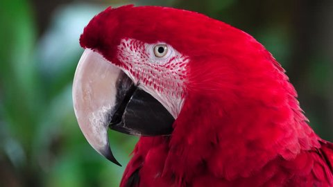 The green-winged macaw (Ara chloropterus), also known as the red-and-green macaw, is a large, mostly-red macaw of the Ara genus