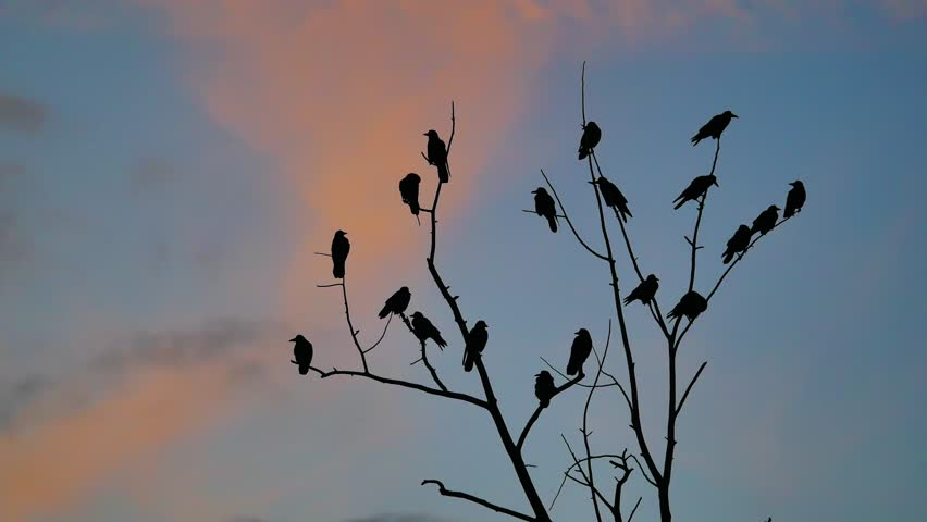 Flock of raven birds autumn sitting on a tree dry branches of trees orange sunset silhouette.  | Shutterstock HD Video #32098663