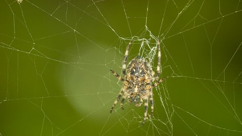 HD 1080p macro close up video of a spider weaving a web/Spider weaving a web