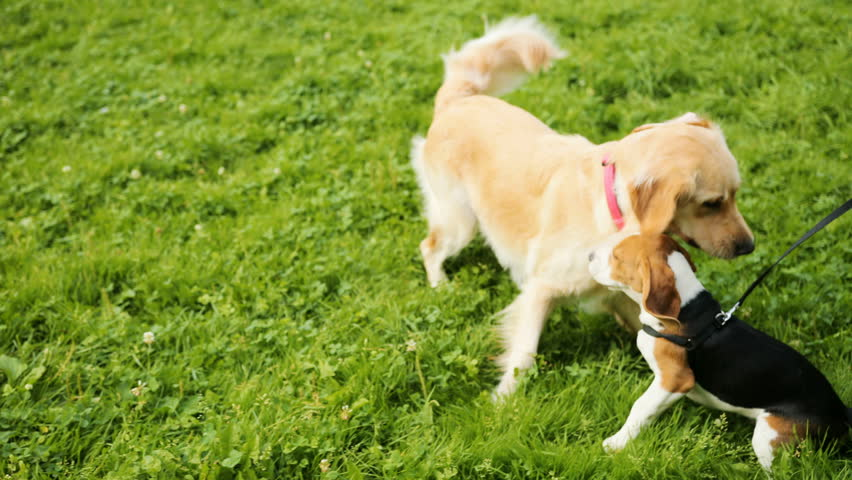 Close up. Portrait of a golden retriever and a beagle playing together on the grass in the park. Green grass background. #32120053