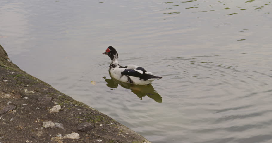 Muscovy Duck  courting in a pond. Costa Rica. Wild Muscovy Ducks are mostly black. Costa Rica