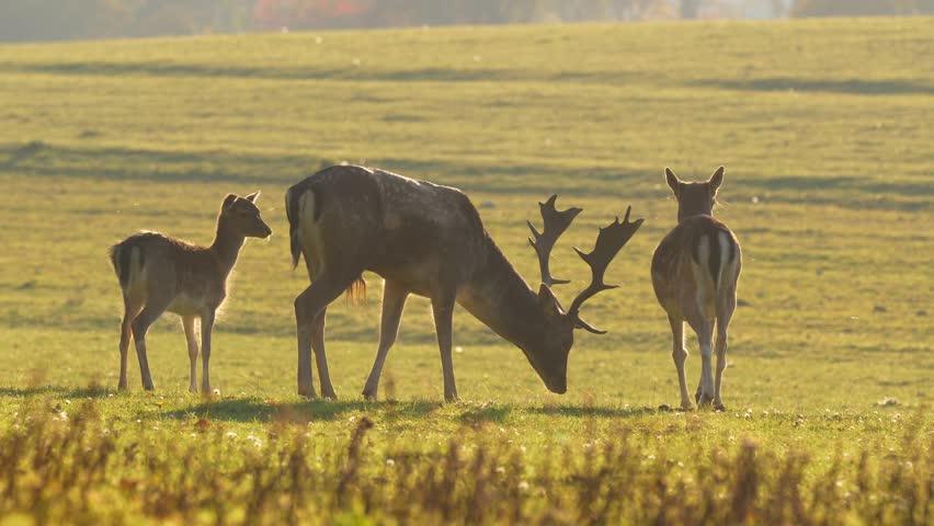 Fallow deer (Dama dama) in golden backlight | Shutterstock HD Video #32131693