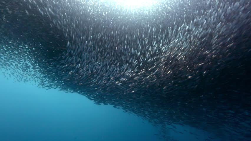 Gigantic shoal of sardines silhouette light show underwater, Cebu, Philippines #32141473