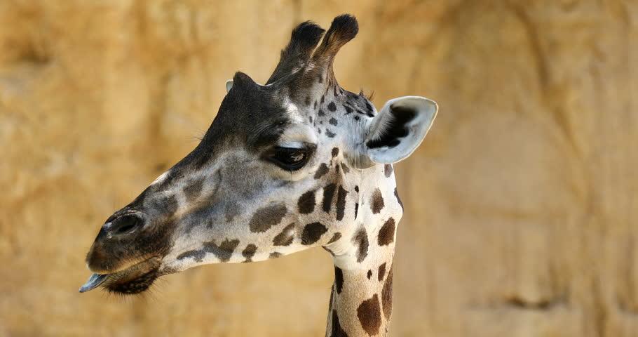close up beautiful detail giraffe head