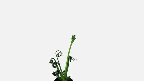Time-lapse of growing Albuca plant 1a3w in 4K PNG+ format with ALPHA transparency channel isolated on white background Other Albuca names: Albuca Spiralis, Frizzle -Sizzle, Cape Star.
