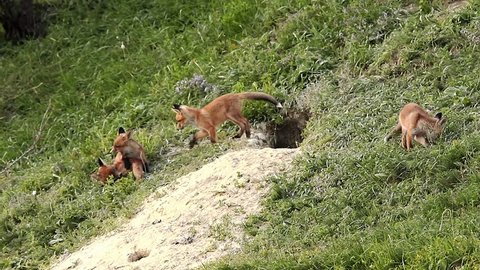 european wild fox cubs playing near the den ( Vulpes )