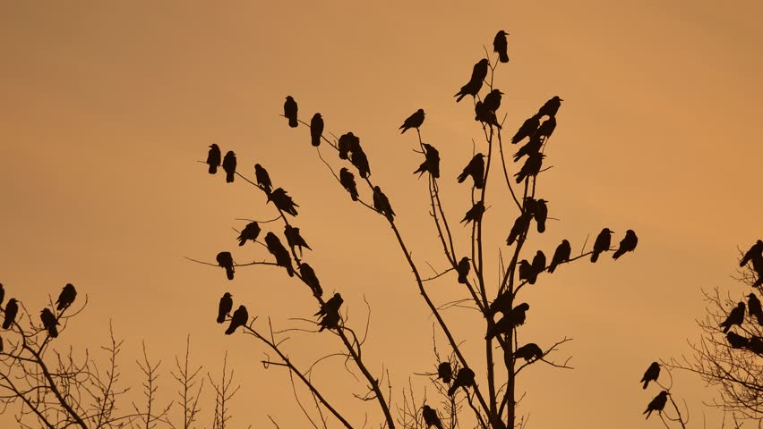 Flock of raven birds sitting autumn on a tree dry branches of trees sunset orange silhouette. crows birds flock | Shutterstock HD Video #32303893