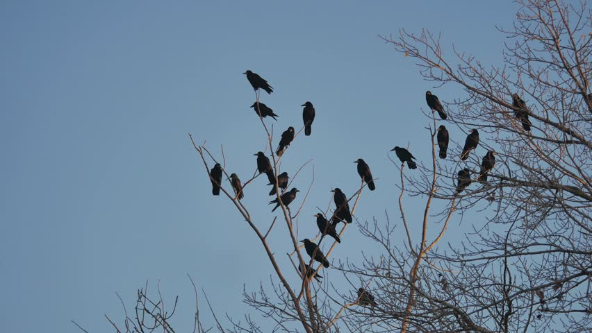 Flock of raven birds sitting on a tree dry branches autumn of trees. crows birds flock | Shutterstock HD Video #32303923