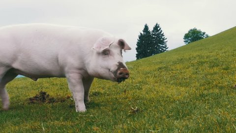 Pink Pig walks and eats roots on a green meadow in the mountains of Austria. Slow Motion in 96 fps. Close-up. Pig on the beautiful manicured lawns on a hill.