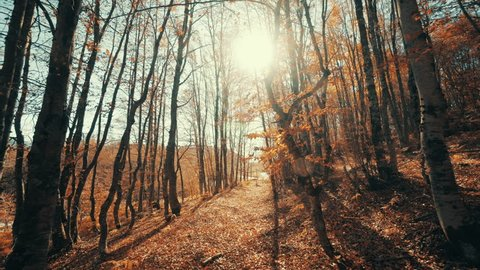 Walking inside a forest of tall trees at autumn sun with long shadows.Pov gimbal stabilized view of someone walking inside a forest path during change of season from autumn to winter with long shadows