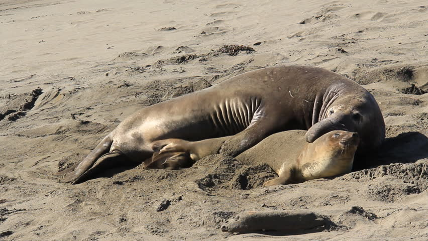 A mating pair of Elephant Seals on a California beach.