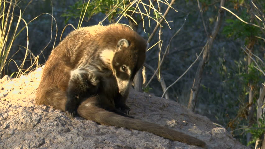 Coati or coatimundi, an animal with a raccoon-like face, sits on a rock in a patch of sunlight, chewing, gracefully lifts bushy tail with its sharp claws. 1080p
