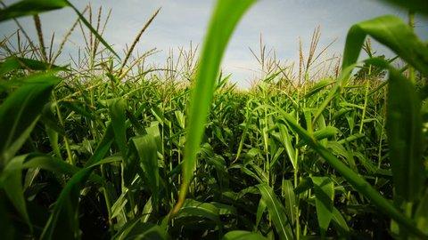 POV shot walking through a cornfield. Moving through corn stalks in farmers field. Steadycam amongst crops on hot summer day. Deep inside organic maize field.