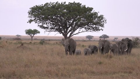 Elephant, African elephants, big herd with lovely babies in the rain, Tanzania, Africa