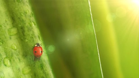 Ladybug on the flower leaves