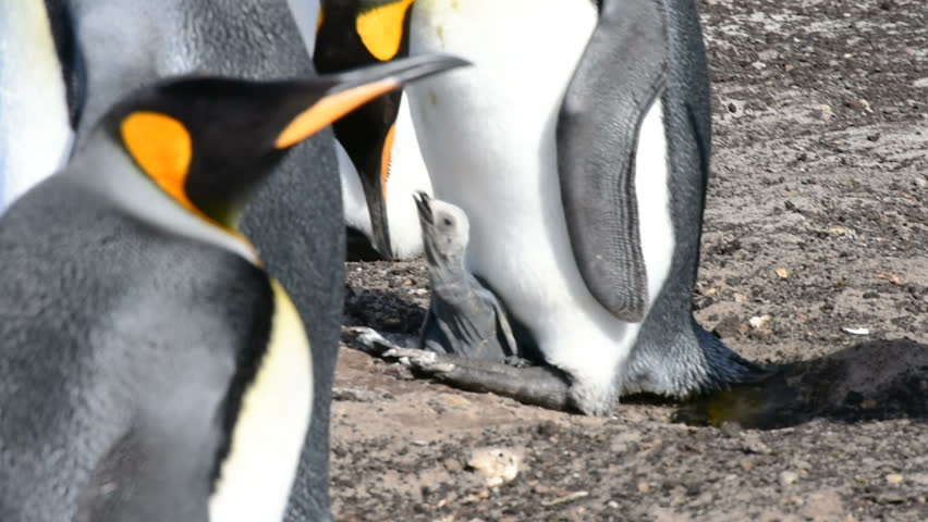 A close-up of a king penguin feed a little chick