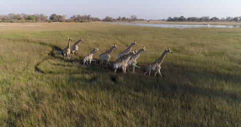 Aerial view of herd of giraffe walking across the grassy plains of the Okavango Delta, Botswana