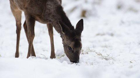 Roe deer search feed on the forest meadow, head portrait, winter, (capreolus capreolus)