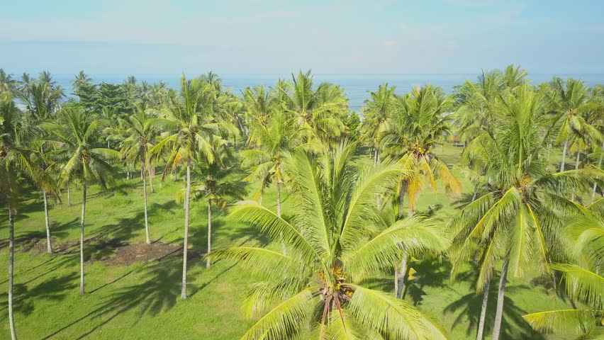 AERIAL CLOSE UP Flying above lush palm tree canopies overlooking blue ocean on the horizon & AERIAL CLOSE UP: Flying Above Lush Palm Tree Canopies Overlooking ...