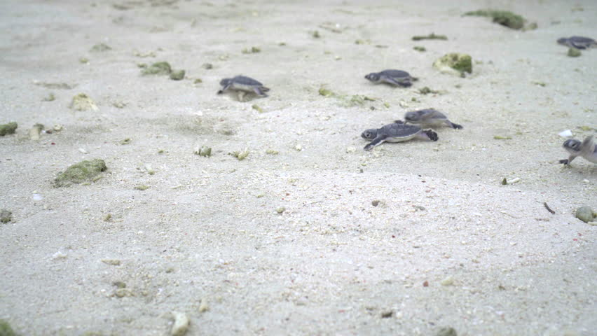 Small turtle hatchlings getting released and running on the the beach toward their first swim. Lankayan Island, Borneo