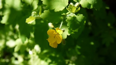 Chelidonium majus. Fluffy yellow flower of greater celandine on blurred background in spring. Video footage HD static camera.