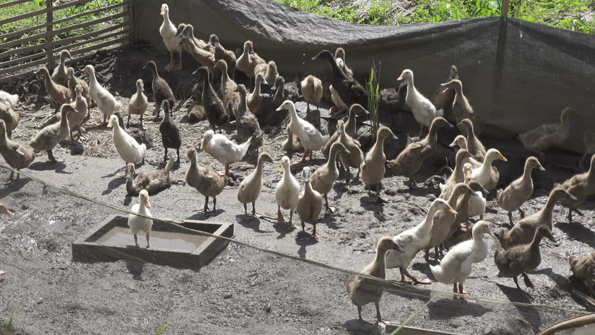Domestic Duck in farm of Bali.
