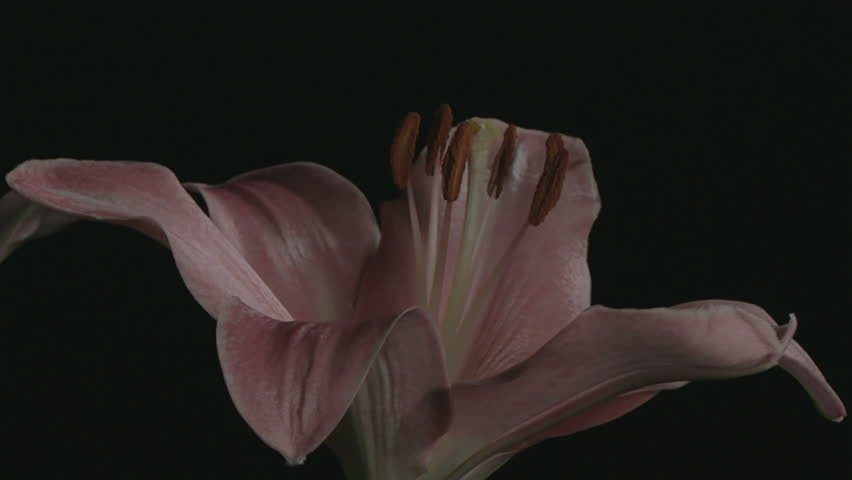 UNGRADED - Medium close up motion time lapse shot turning around lily flower bulbs opening and blooming against a black background.