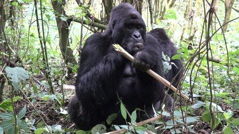 Mountain Gorilla, Silverback, eats bamboo and leafs, Virunga, Democratic republic of Congo, Africa