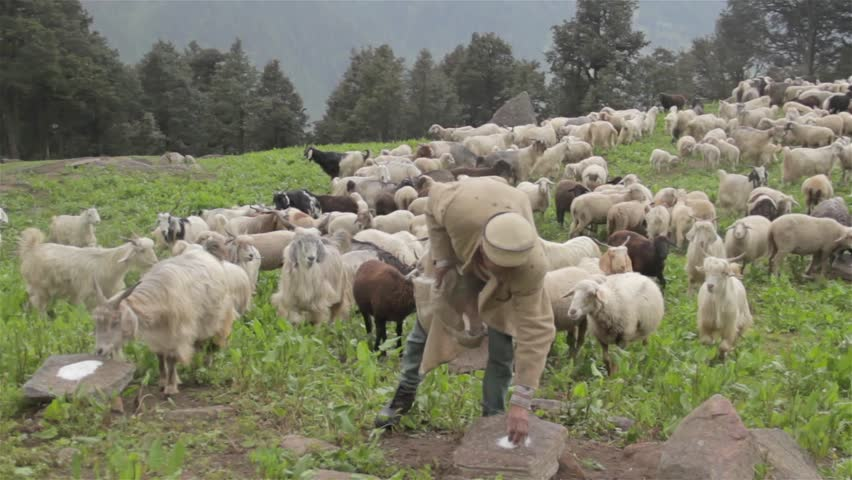 Elderly Shepherd feeding a flock of sheep salt in a rainy climate on a hill top on mountainous region