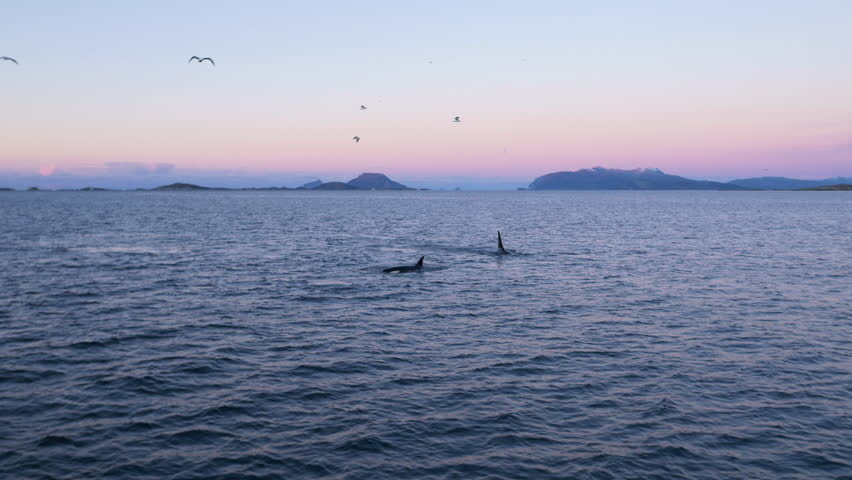 Pod of orcas swimming in magic hour light in Norway