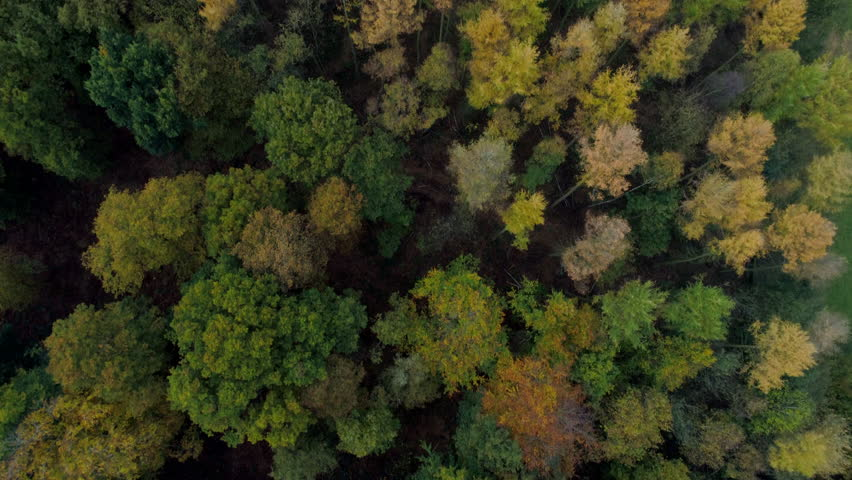 Aerial Autumn Fall Golden leaf trees and pine trees with green grass 4k source