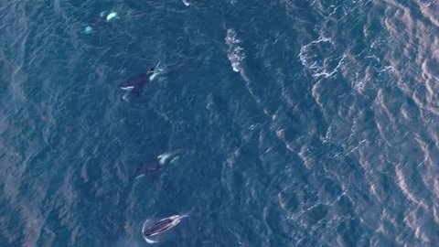 Aerial view of a large pod of Orcas searching herring  in northern Norway