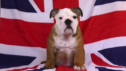 english bulldog puppy union jack flag