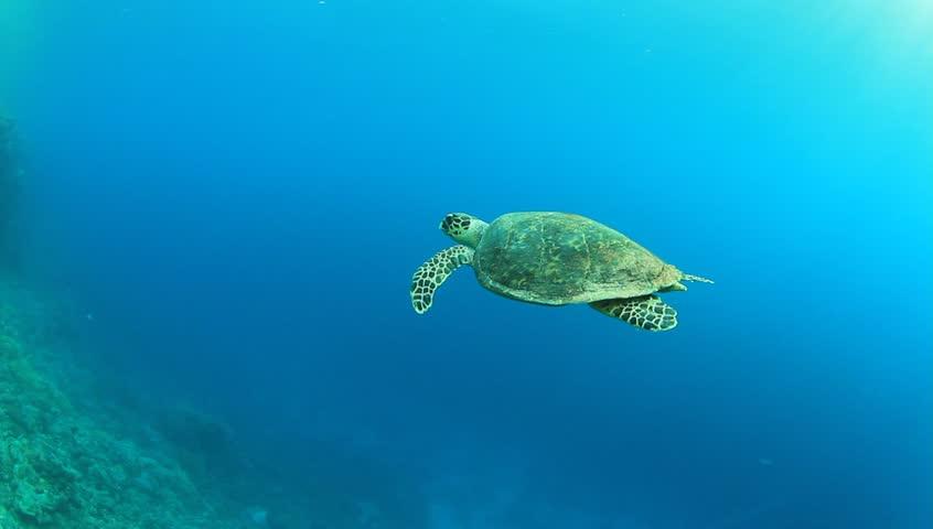 Hawksbill Sea Turtle swimming in blue water | Shutterstock HD Video #3271514