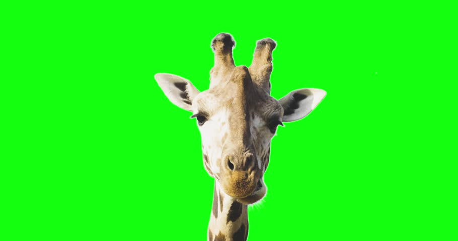 Green screen close up shot of a giraffe looking to the camera while eating.