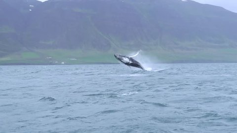 Breaching humpback whale near Dalvik in Iceland
