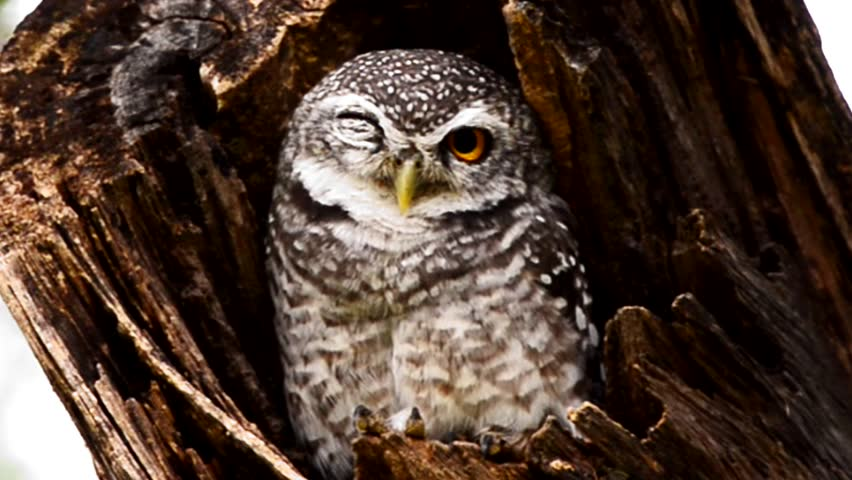 Young owlet in a tree hollow