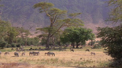 Ngorongoro Crater, Forest, a peaceful place in the Crater with zebras, baboons, wildebeest, warthogs and Elephants. Serengeti, Tanzania, Africa