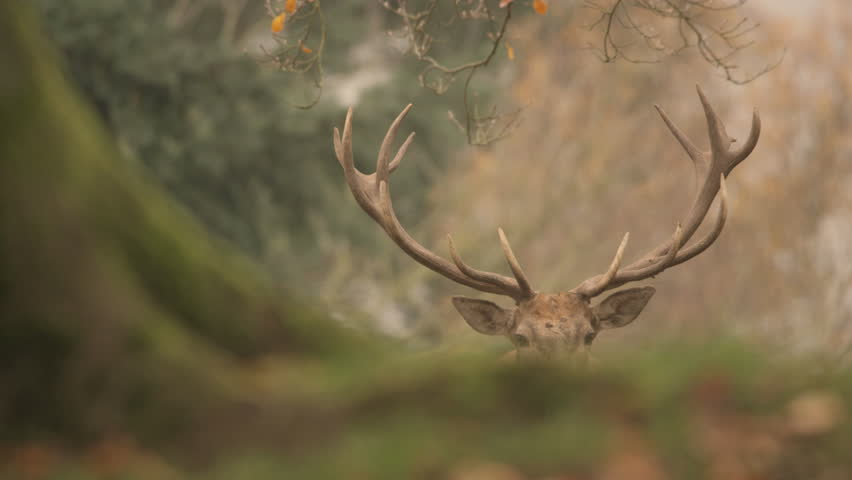 Red deer in rutting season - 5k red epic footage