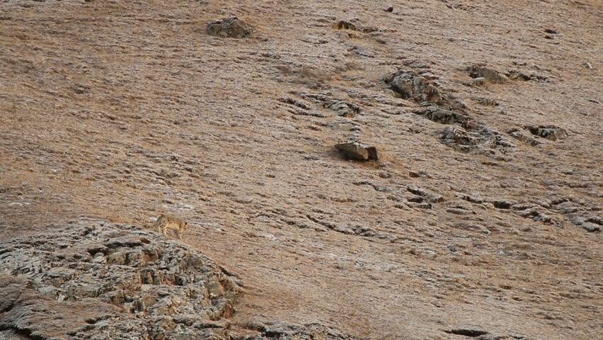 WILD Snow Leopard (Panthera Uncia) in Tibet walking on a moutain side