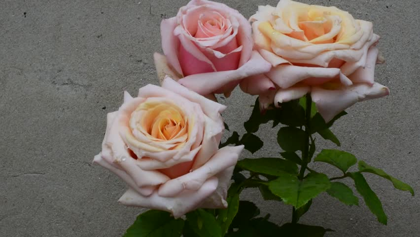 Beautiful roses close up | Shutterstock HD Video #32917372