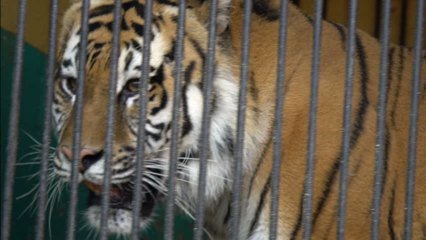 animal captivity They are one of the most common animals to injure or even kill people after escaping captivity for example, during summer 2015, a flood freed hundreds of wild animals from a zoo in tbilisi, georgia among those animals was a tiger, which killed a man in a warehouse before being taken out by police.