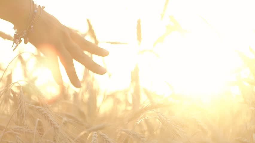 SLOW MOTION:Closeup of hand gliding over wheat ears on the field #32973403